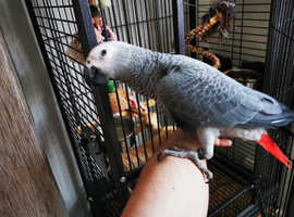 African grey 6 months old