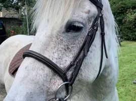 14hh pony club pony for sale/ happy hack