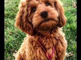 Looking for a toy cockapoo