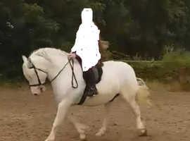 stunning registered Highland gelding.