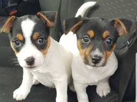 2 Miniature Jack Russell's Girls