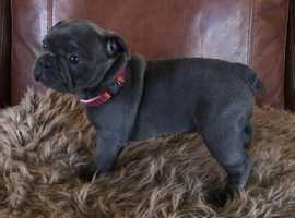 Full Pedigree Frenchies Hereditary Health Tested
