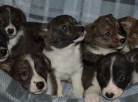 KC Reg Cardiganshire Corgi pups