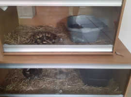 2 pythons snakes for sale