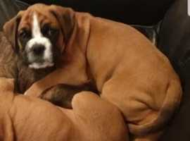 Now ready 1 Red Chunky Boy And One Brindle Girl Boxer Pups