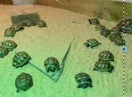 20 baby Spur-Thighed (testudo graeca) tortoises