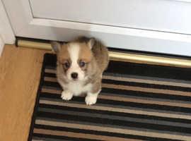 Kc reg Pembroke corgi puppy ( Boy)