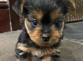 3 males Yorkshire terriers left