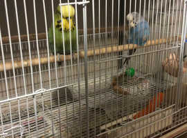 going into breeding finches,adult budgies,+young ones ,