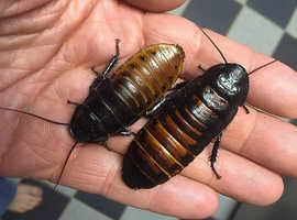 Unusual and fun pets .... Madagascan Hissing Cockroaches