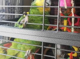 Amazon parrot for sale