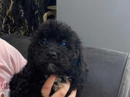 4 beautiful shihpoo puppies