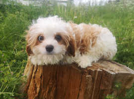 4 month old Cavachon Puppy