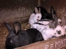 Baby English rabbits in Kent