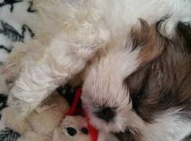 Shihtzu cross Maltese puppies