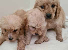 Cockerpoo puppies 1 boy 2 girls