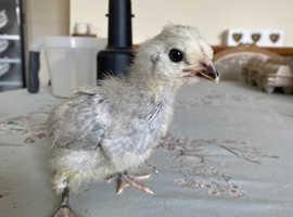 Lavender araucana chicks
