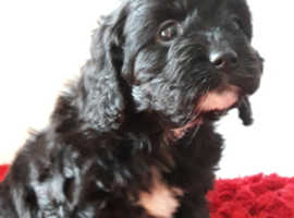 F1 CAVAPOO PUPPIES