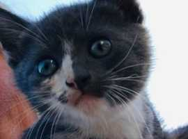 Beautiful grey female kitten