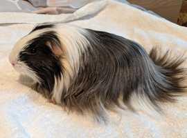 Gorgeous Sheltie Boar
