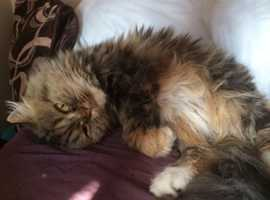 Missing from Plymouth Persian cat