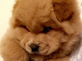 Fluffy fluffballs  chow chow puppies