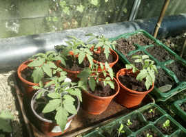 Healthy Tomato Plants!