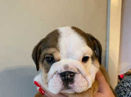 English bulldog puppies kc registered  £2000 open to sensible offers