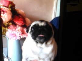 Fat cuddly friendly girl pug kc registered