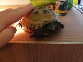 Male Horsefield Tortoise with Enclosure for Sale
