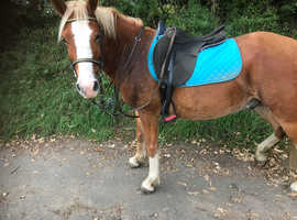 Registered new forest gelding