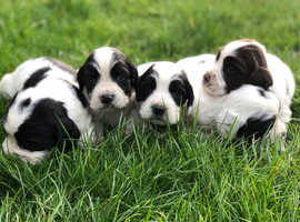 Springer spaniel puppies, gorgeous KC registered