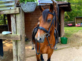 13.2hh pretty well bred Welsh