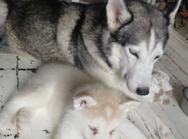Last Female Siberian Husky