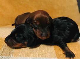 2 gorgeous miniature dachshunds