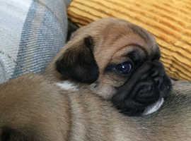 F1A Puggle Pups