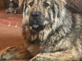 Caucasian shepherd dog 2years