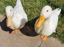 Pekin ducks