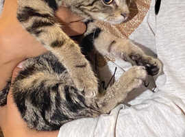 2 adorable x Bengal kittens 11weeks old