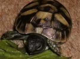 Hermanns Tortoises (Home bred)