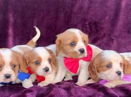 Gorgeous cavalier king charles pups