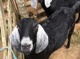 Anglonubian goats