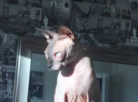 Beautiful Spynx Cat For Sale