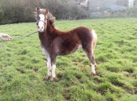 Smart Filly Make A Super child's pony