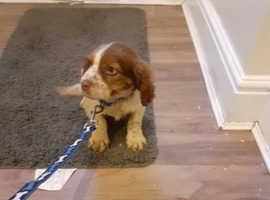 Springer Pups For Sale