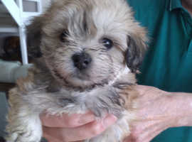 LOVELY LITTER OF MALTIPOO PUPPIES MALE AND FEMALE ready to leave 2nd  Nov