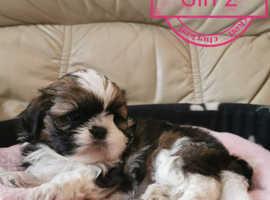 Beautiful shih tzu puppy's
