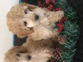 Beautiful miniature poodle puppies