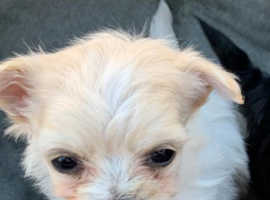 Tea cup Morkie puppies