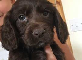 Adorable Cocker spaniel puppies  for sale